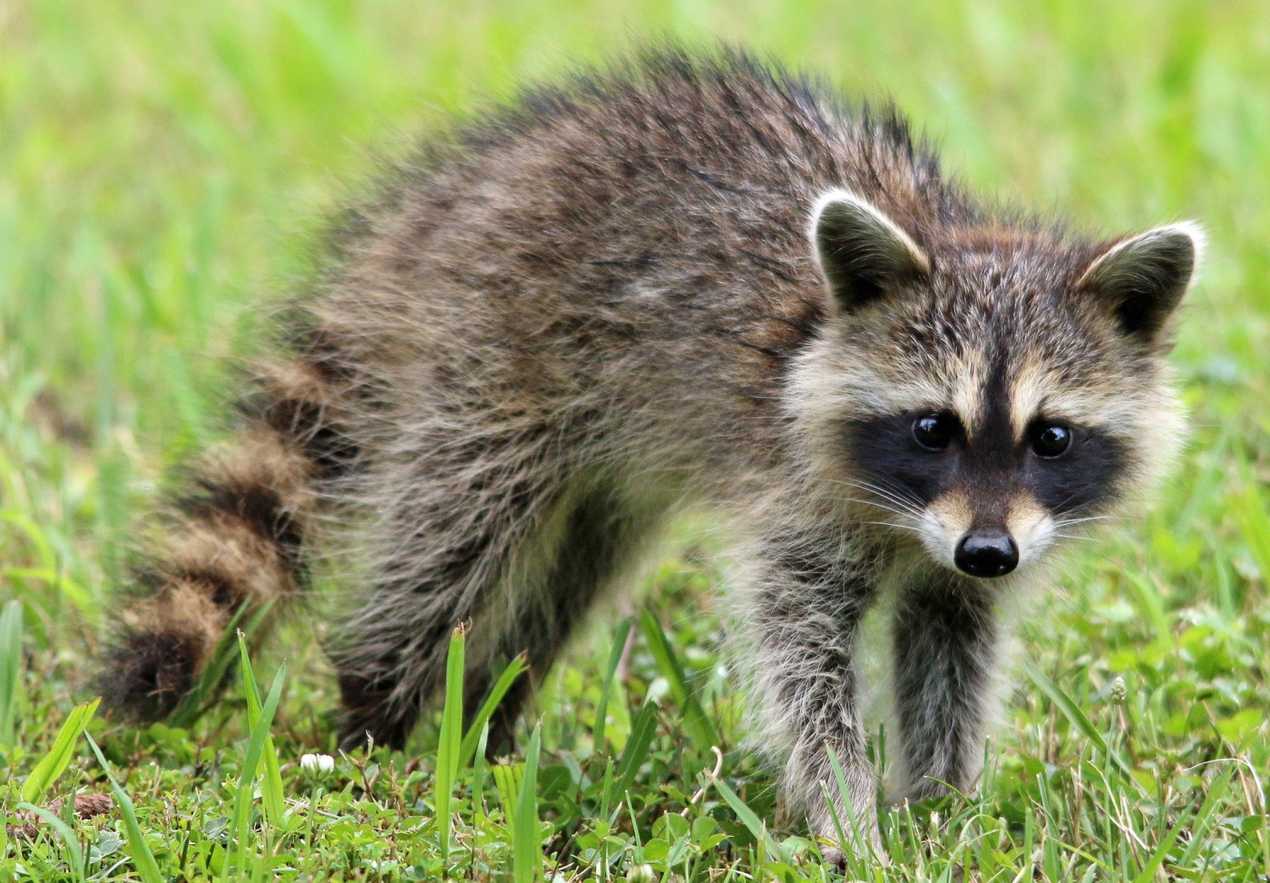 Stay Safe! Why Wildlife Removal Is Not DIY